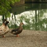 ducks-at-park