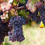 """Jesus said, """"I am the vine"""""""
