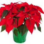 Poinsettia Object Lesson (1 Samuel 16:7)